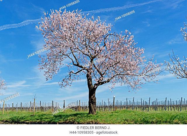 Europe, Germany, Rhineland-Palatinate, Gimmeldingen, blossom, almond tree, blossoms, trees, plants, place of interest, tourism, scenery, wine
