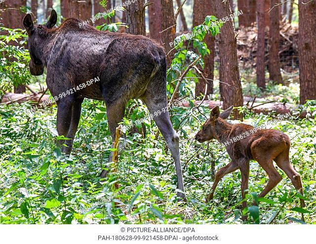 27 June 2018, Germany, Gross Schoenebeck: A moose calf walking behind its mother, moose cow Marlies, in an enclosure at Wildpark Schorfheide