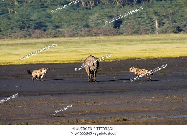 Spotted Hyenas hunting an African Buffalo, Crocuta crocuta, NAKURU NATIONAL PARK, KENYA, EAST Africa - NAKURU NATIONAL PARK, KENYA, 24/09/2008