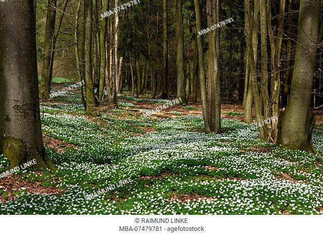 Forest with wood anemone, Anemone nemorosa, in spring, Odenwald, Baden-Württemberg, Germany
