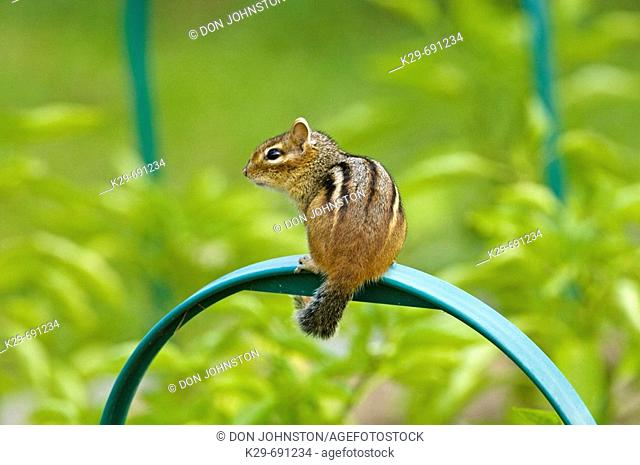 Eastern chipmunk (Tamias striatus) loafing in summer vegetable garden