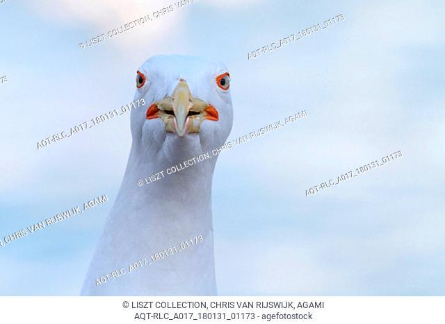 Close-up Yellow-legged Gull, Yellow-legged Gull, Larus michahellis