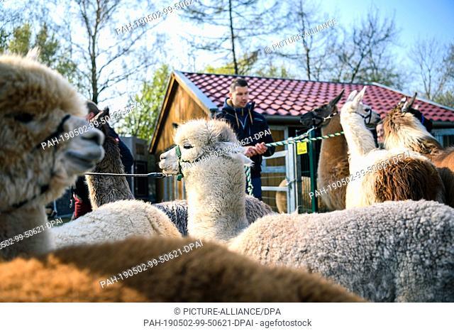 14 April 2019, Lower Saxony, Drantum: A view of alpacas living on the farm of Christina and Andreas Klövekorn. Photo: Mohssen Assanimoghaddam/dpa