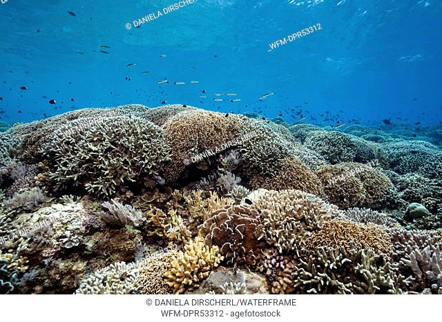 Pristine Reef Top, Kai Islands, Moluccas, Indonesia