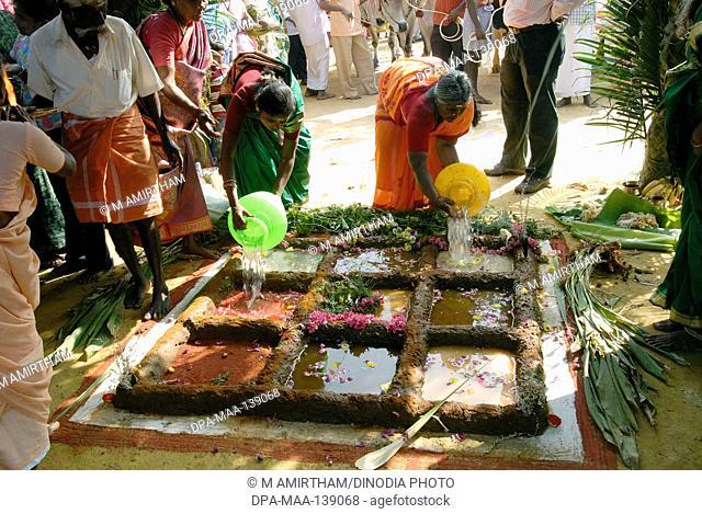 Farmers celebrating Pongal festival (Harvest Festival) at Coimbatore ; Tamil Nadu ; India