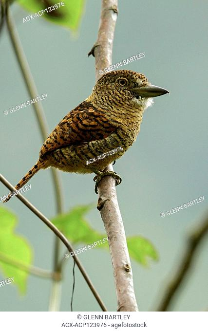 Barred Puffbird (Nystalus radiatus) perched on a branch in the Andes mountains of Colombia