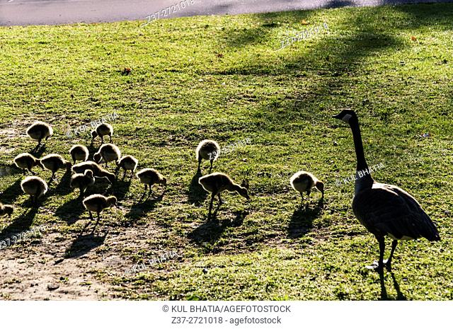 Adult supervision. A mother Canada goose watches over a flock of goslings in a park, Ontario, Canada