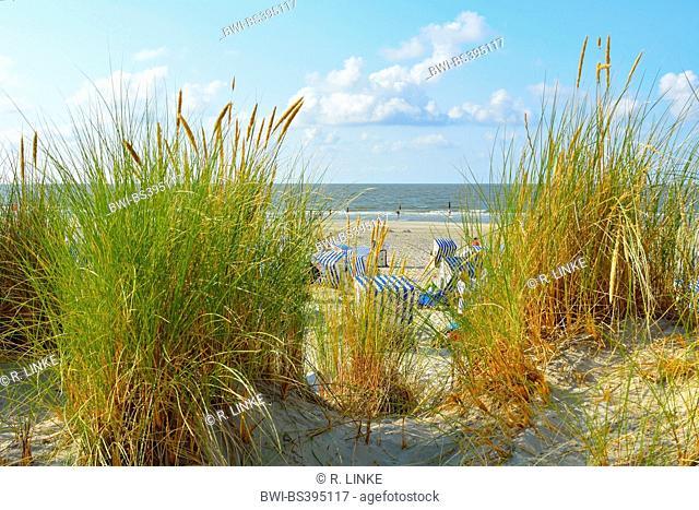 beach grass, European beachgrass, marram grass, psamma, sea sand-reed (Ammophila arenaria), beach with beach chairs in summer, Germany, Lower Saxony, Norderney