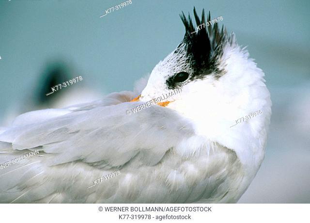 Royal Tern (Sterna maxima). Bird in winter plumage. Florida. USA