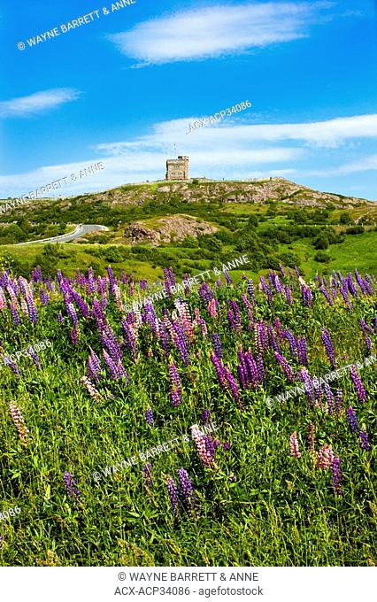 View of Cabot Tower with lupines Lupinus perennis in foreground, Signal Hill National Historic Site, St. John's, Newfoundland and Labrador, Canada