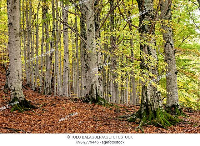 Forest of Gabardito, Hecho valley, western valleys, Pyrenean mountain range, province of Huesca, Aragon, Spain