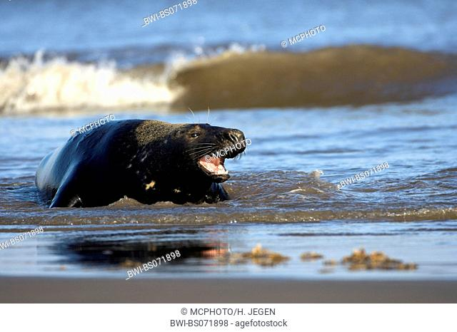gray seal (Halichoerus grypus), lying in the surge, Europe, Germany, Schleswig-Holstein, Heligoland