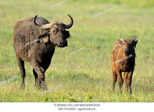 African Buffalo (Syncerus caffer), cow and calf, Lake Nakuru, national park, Kenya, East Africa