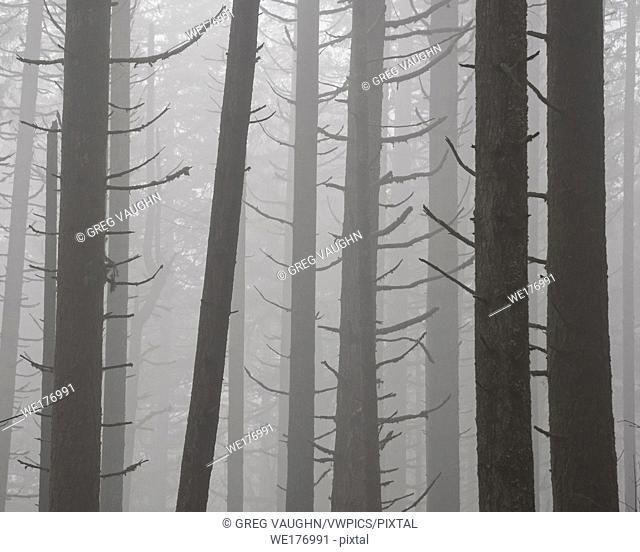 Trees and fog; Ridgeline Trail, Hult City Park, Eugene, Oregon. On1 10 Snappy Warm