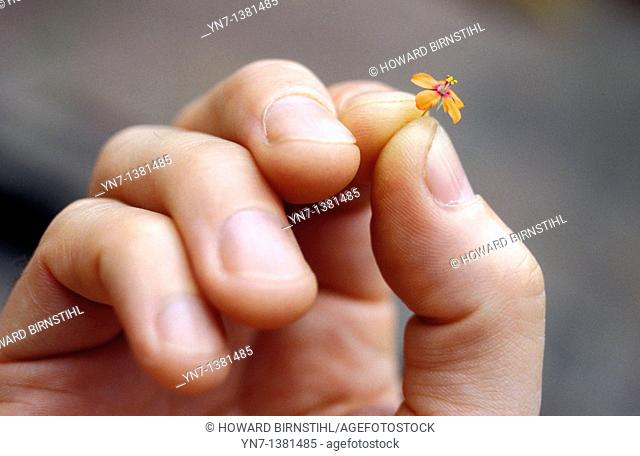 close up of a hand holding a very small orange flower