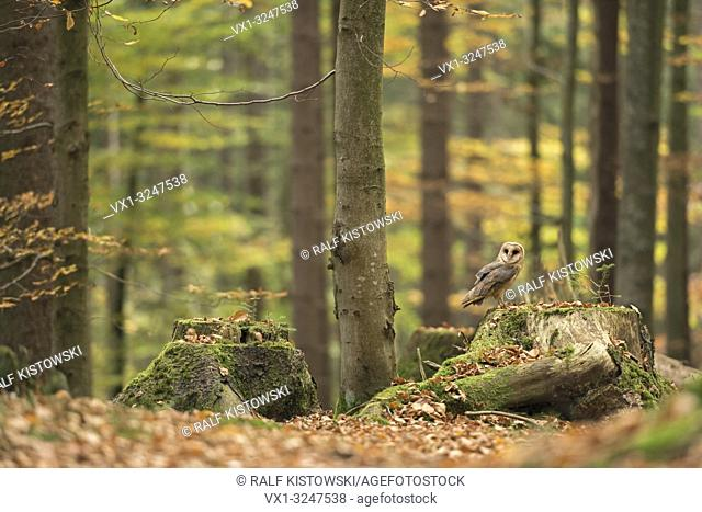 Barn Owl / Schleiereule ( Tyto alba ) perched on a tree stump in autumnal coloured open woodland, golden October, Europe