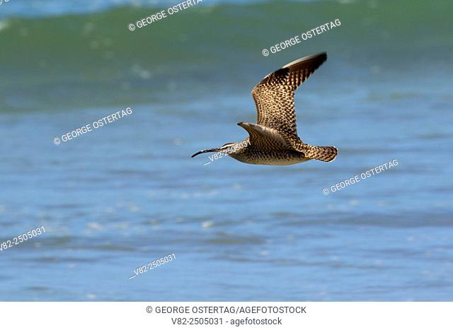 Whimbrel (Numenius phaeopus) in flight, Montana de Oro State Park, California