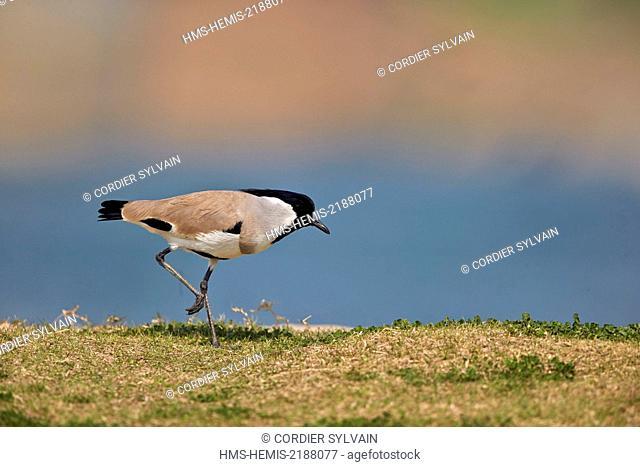 India, Uttar Pradesh state, Chambal river, River lapwing (Vanellus duvaucelii)