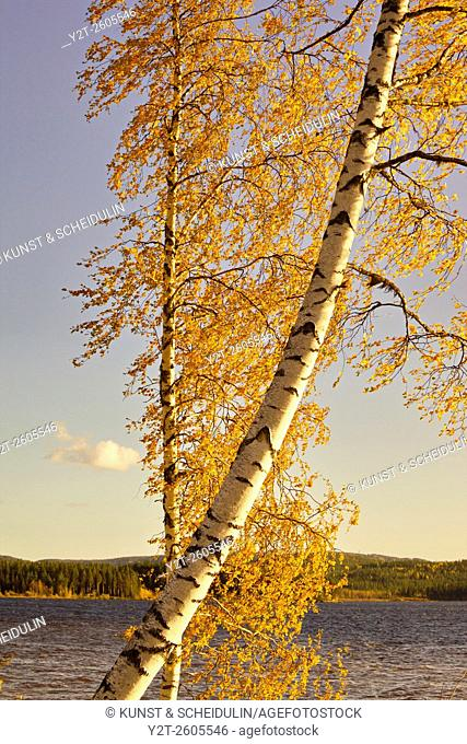 The autumn colored leaves of a birch tree are fluttering in the wind on a sunny morning at a forest lake in southern Lapland