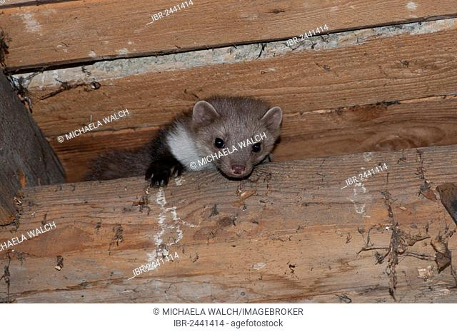 Young stone marten, beech marten or white breasted marten (Martes foina) looking down from the beam of a barn, Tyrol, Austria, Europe