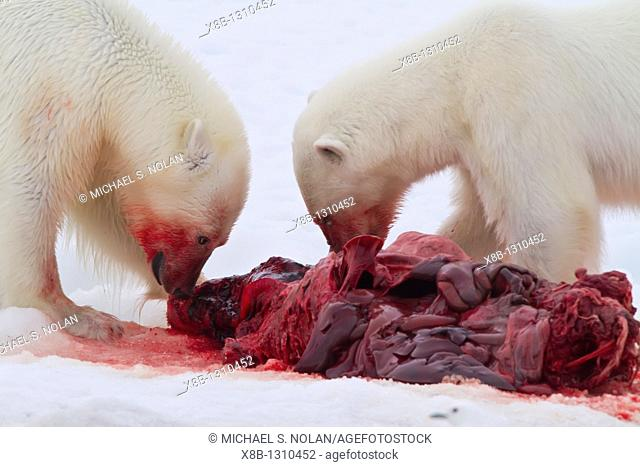 Two young polar bears Ursus maritimus feeding side-by-side on a fresh bearded seal kill near Monacobreen Glacier, Spitsbergen in the Svalbard Archipelago
