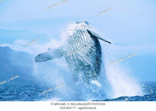 Adult Humpback Whale (Megaptera novaeangliae) breaching. Auau Channel. Maui Island. Hawaii. USA