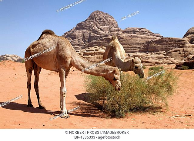 Dromedaries or Arabian Camels (Camelus dromedarius) feeding on a bush in desert with red sand, Wadi Rum, Hashemite Kingdom of Jordan, Middle East, Asia