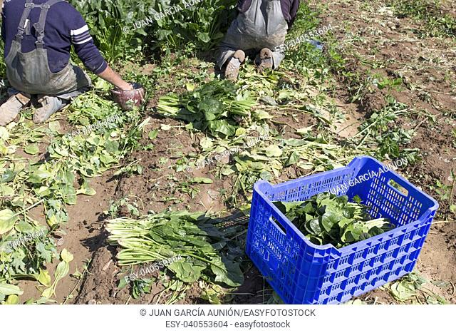 Workers collecting spinachs at local ecological farm. Sustainable agriculture