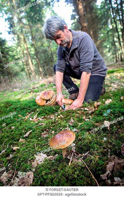 GATHERING PORCINI (BOLETUS MUSHROOMS) IN THE FOREST OF CONCHES, RUGLES (27), FRANCE
