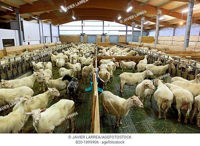 Sheep farm  Latxa breed  Gomiztegi Baserria, Arantzazu, Oñati, Gipuzkoa, Basque Country, Spain