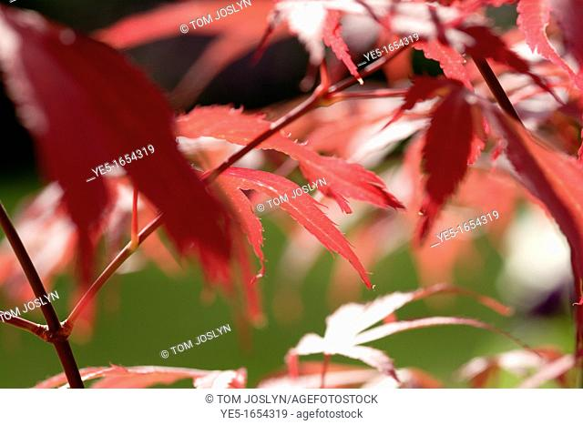 Japanese maple leaves Acer palmatum 'Bloodgood' close up, England, UK
