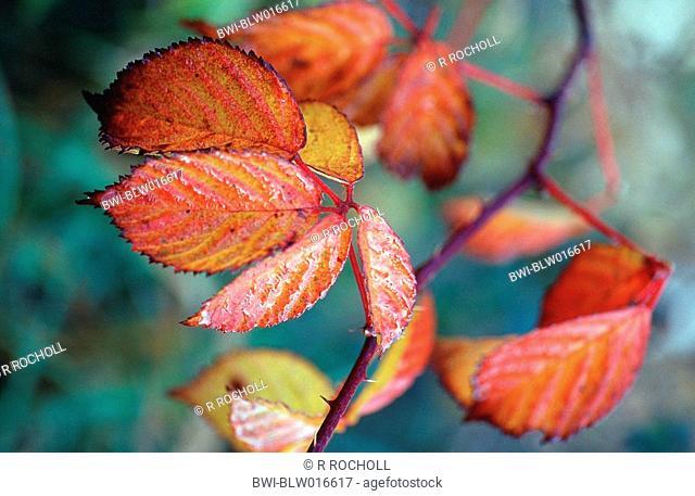 shrubby blackberry Rubus fruticosus, autumn colors, Okt 99