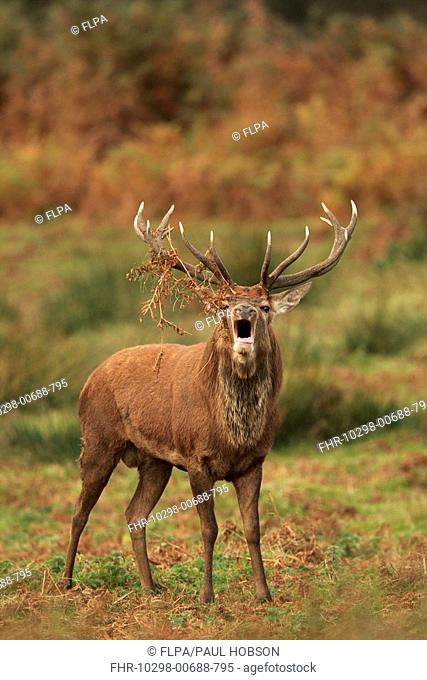 Red Deer Cervus elaphus stag, roaring, with bracken on antlers, during rutting season, Bradgate Park, Leicestershire, England
