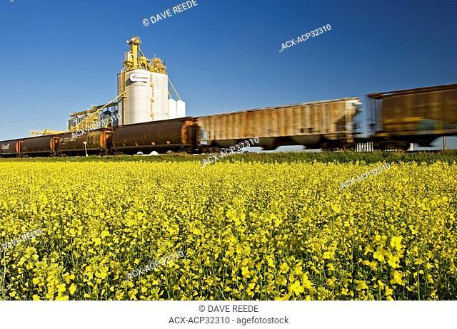 rail hopper cars pass a canola field and inland grain terminal near Portage la Prairie, Manitoba, Canada