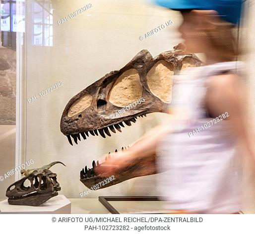 """06.05.2018, Thuringen, Schleusingen: Allosaurus's skull can be seen in the exhibition """"""""Living and petrified dinosaurs"""""""" in the Museum Schloss Bertholdsburg"""