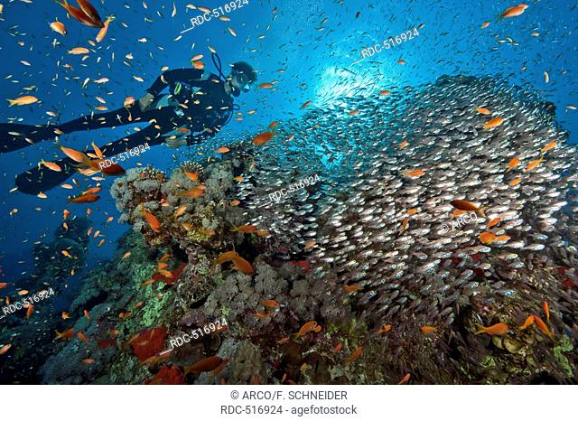 diver and school of sweeper and Lyretail anthias, Red Sea / (Parapriacanthus guentheri) and (Pseudanthias squamipinnis)