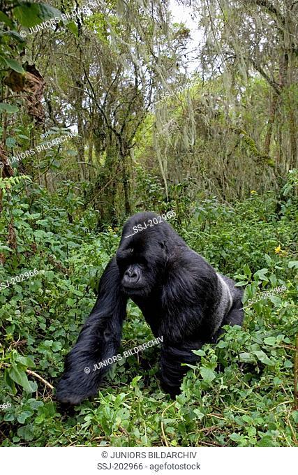 Mountain Gorilla (Gorilla beringei beringei). Silverback male walking in the jungle. Volcanoes National Park, Rwanda