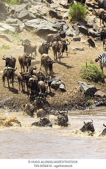 Wildebeest crossing the Mara river. Great migration. Blue wildebeest. Connochaetes taurinus., Common wildebeest, white-bearded wildebeest or brindled gnu