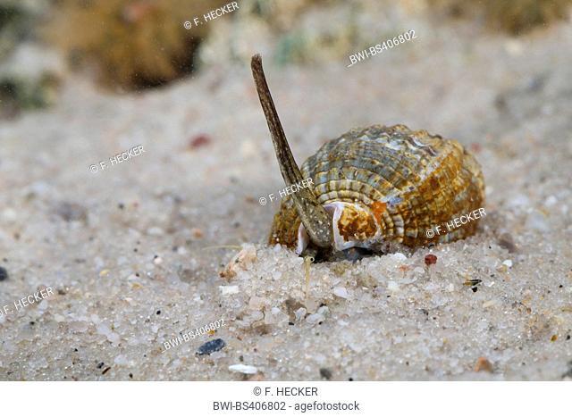 netted nassa, netted dogwhelk (Nassarius reticulatus, Nassarius reticulata, Hinia reticulata), on the ground