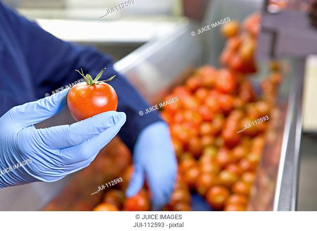 Close up worker holding ripe red tomato at production line in food processing plant