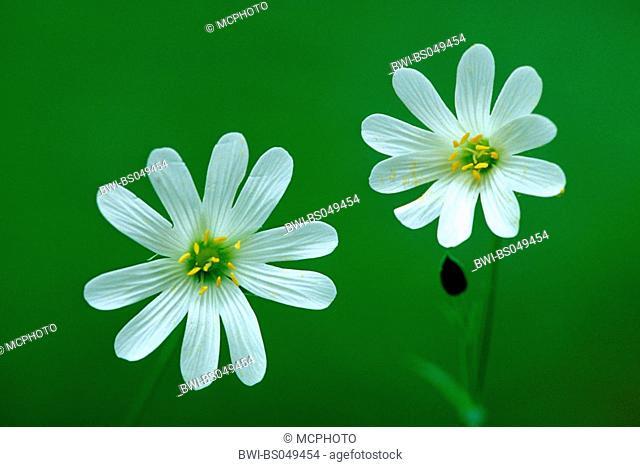 easterbell starwort, greater stitchwort (Stellaria holostea), flowers