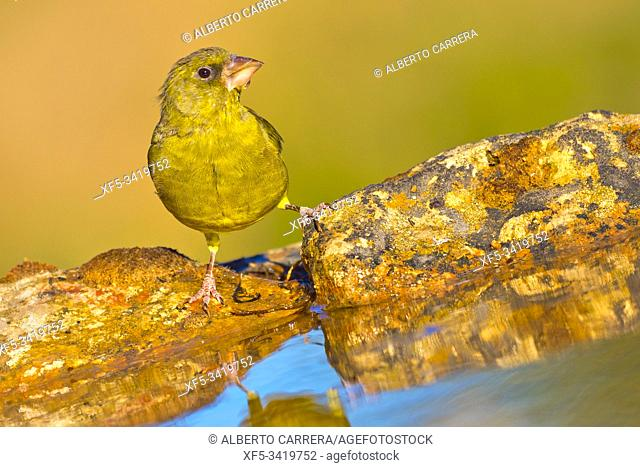 Greenfinch, Carduelis chloris, Verderón Común, Forest Pond, Castilla y León, Spain, Europe