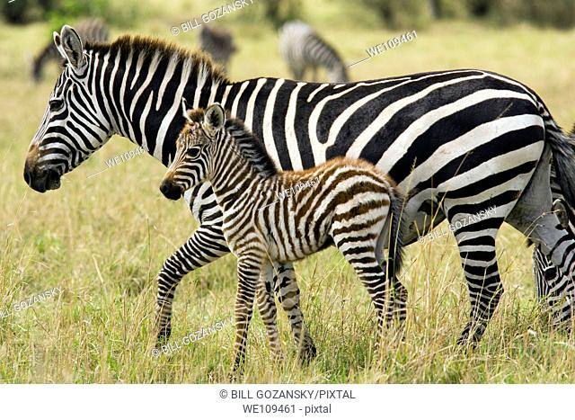 Common Zebra Mother and Baby - Masai Mara National Reserve, Kenya