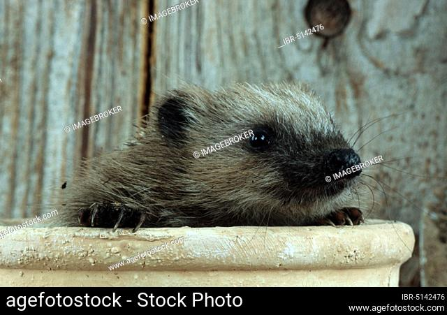 European Hedgehog (Erinaceus europaeus), European hedgehog