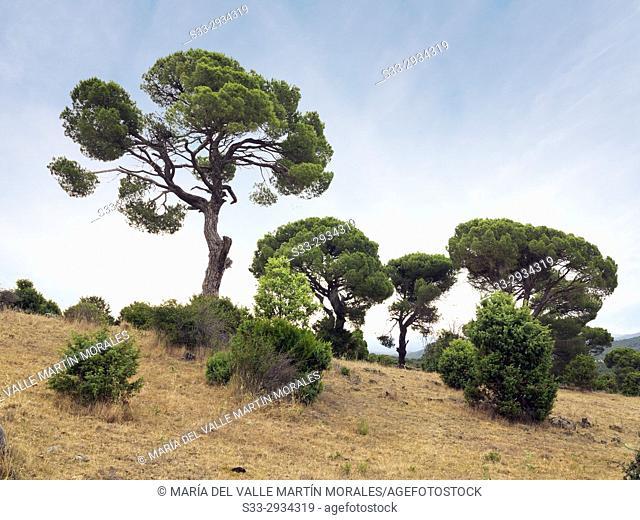 Pines in Matavieja hill. El Hoyo de Pinares. Avila. Spain