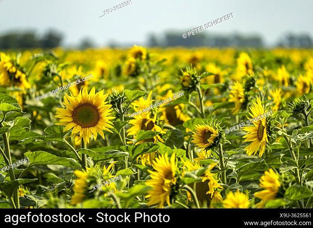 Feld mit Sonnenblumen bei Jerichow, Sachsen-Anhalt, Deutschland | Sunflower field near Jerichow, Saxony-Anhalt, Germany