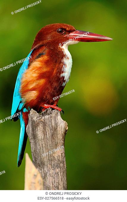 Beautiful bird from India. White-throated Kingfisher