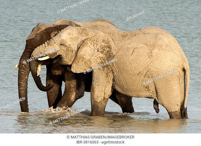 African elephants (Loxodonta africana) playfighting at the Namutoni water hole, Etosha National Park, Namibia