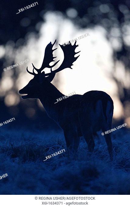Fallow Deer Dama dama, Buck Roaring at Dawn during the Rut, , Royal Deer Park, Klampenborg, Copenhagen, Sjaelland, Denmark