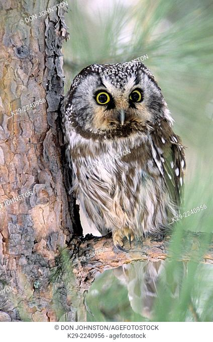 Boreal owl (Aegeolis funereus) Roosting in protection of red pine, Greater Sudbury, Ontario, Canada